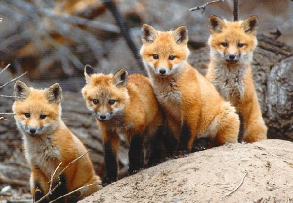 What Kind Of Fox Are You Quiz