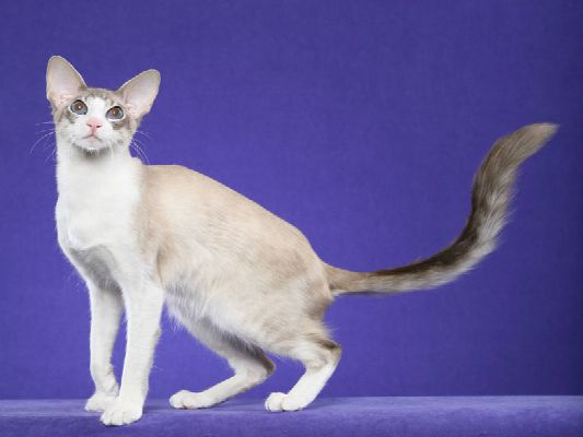 Balinese Cat And The Other Hypoallergenic Cats
