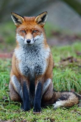What Type Of Fox Are You Quiz