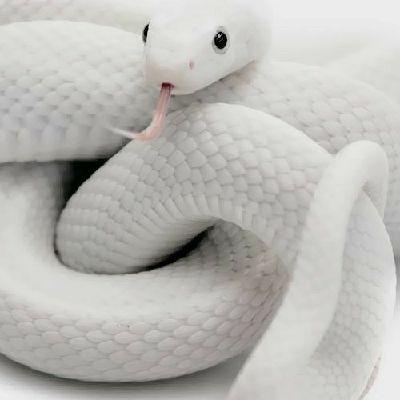 Yeti Albino Snake Adopted Adoption Center